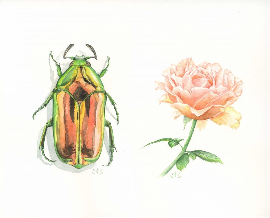 Agestrata orichalca et rose - Aquarelle originale de Jordane Desjardins