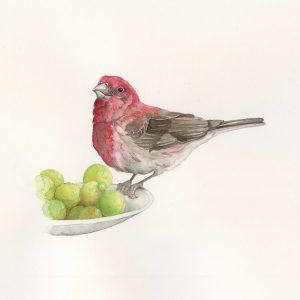 Rocelin pourpré - Aquarelle originale de Jordane Desjardins