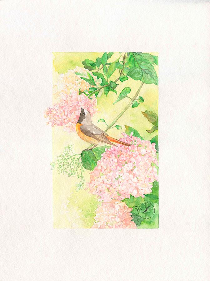 Rouge-queue sur branche d'hydrangea - Aquarelle par Jordane Desjardins