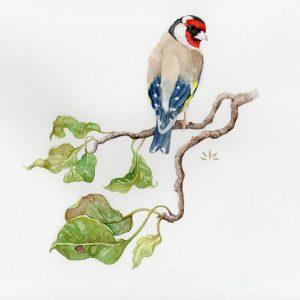Chardonneret élégant sur une branche de pommier - Aquarelle de Jordane Desjardins
