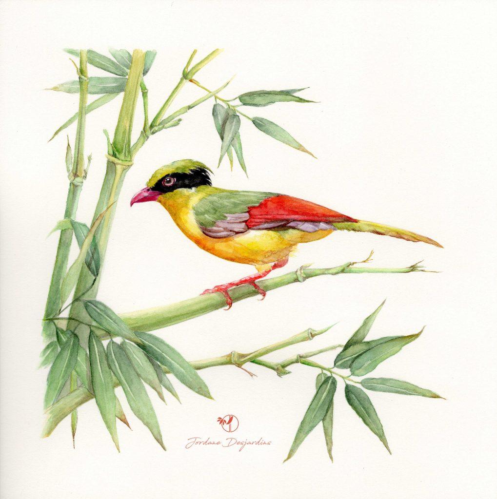 oiseau pirolle bambou - Aquarelle de Jordane Desjardins